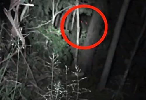 جانوری با چشمان قرمز در جنگل های استرالیا