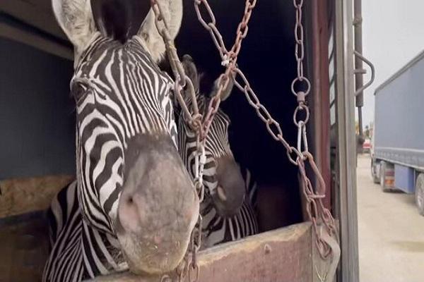 ماده گورخر آفریقایی تلف شده در صفادشت آبستن نبود، واردات گونه جدید به استان تهران فعلا ممنوع